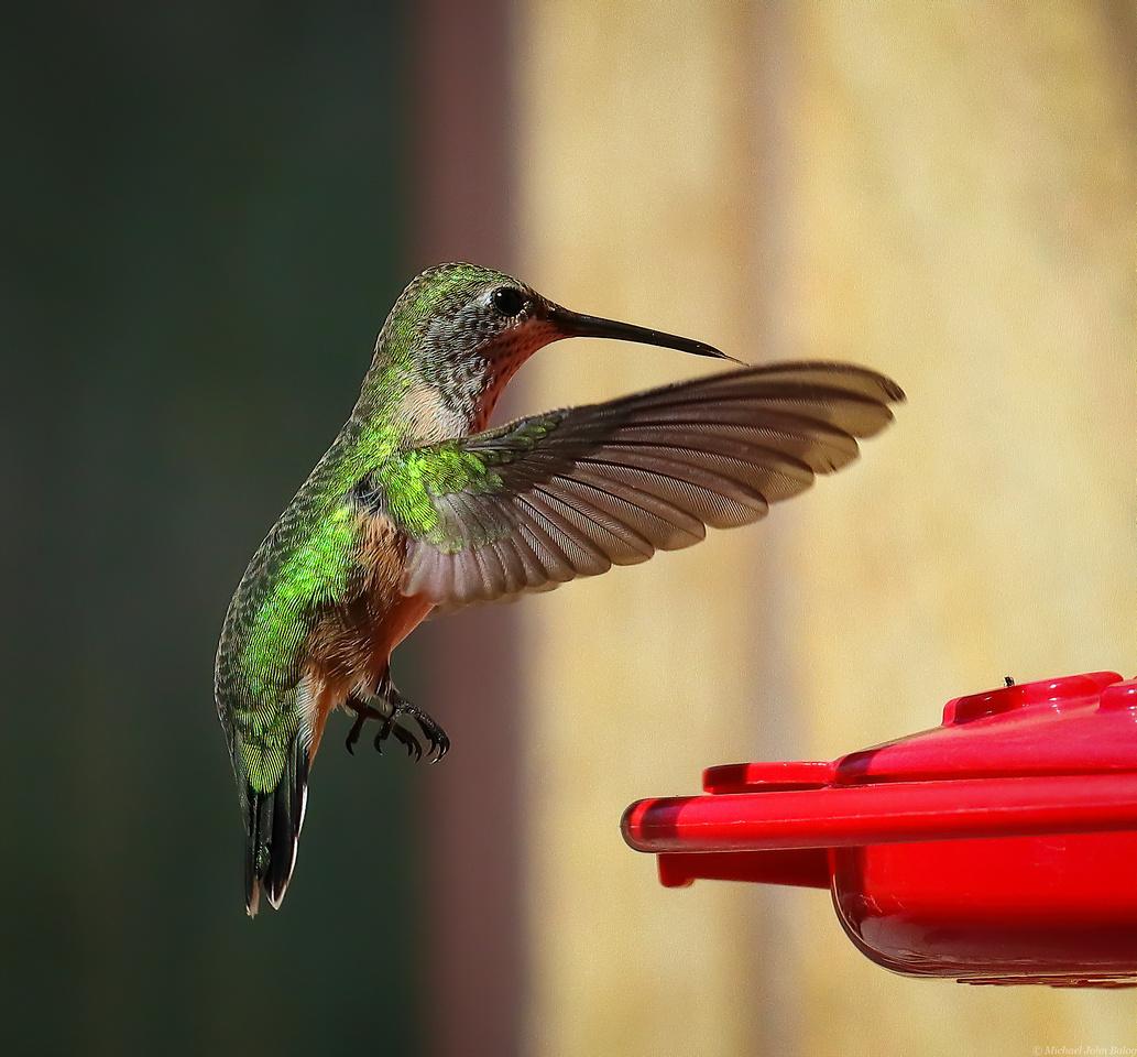 Wyoming Hummingbird In-Flight