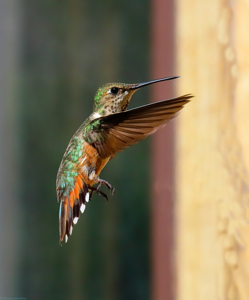 In-Flight Baby Hummingbird
