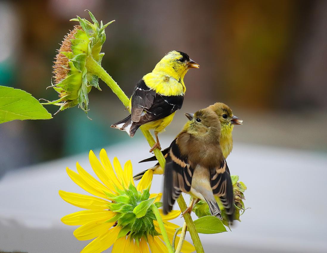 American Goldfinch male feeding 2 babies