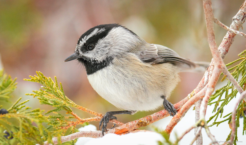 Mountain Chickadee - Wind River Canyon, Wyoming