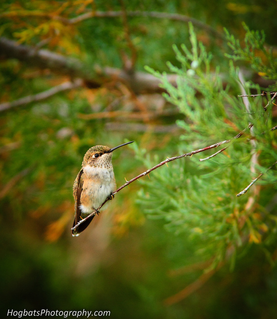 Wyoming, Wind River Canyon, Black-chinned Hummingbird Baby.