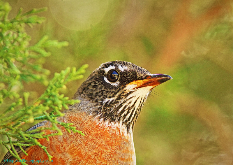 American Robin/Portrait ~ Wind River Canyon in the state of Wyoming.