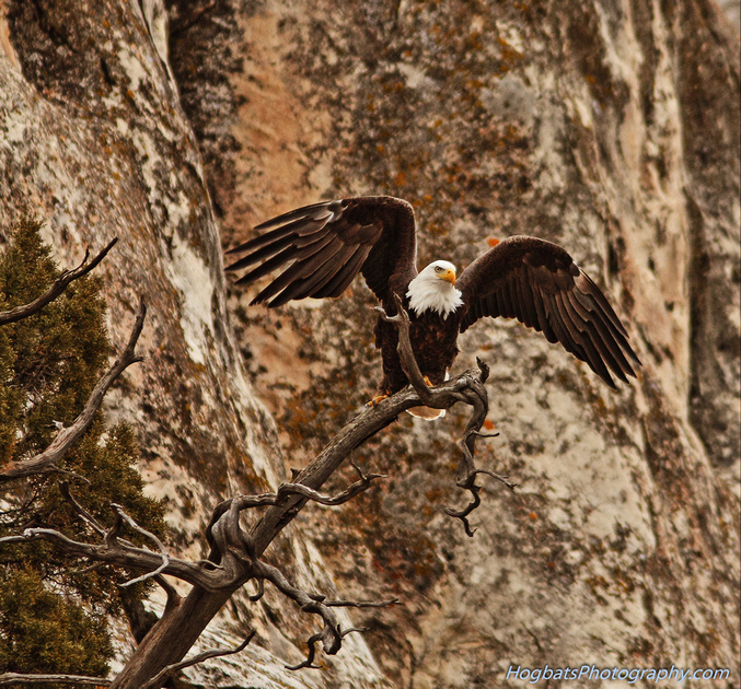 Bald Eagle, Valentine's Day, Wind River Canyon, Wyoming