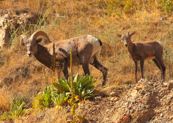 Ram and Baby Bighorn Sheep - Wind River Canyon, Wyoming