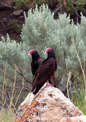 Vulture, Wind River Canyon, Wyoming