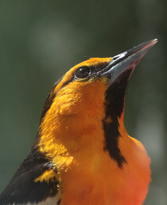 Bullock's Oriole,male-Wind River Canyon, Wyoming
