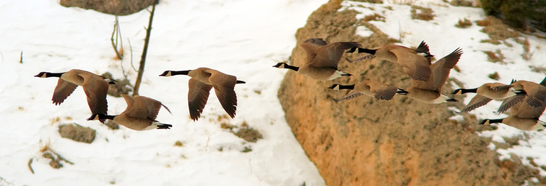 Canadian Geese, In Flight, Wind River Canyon,Wyoming
