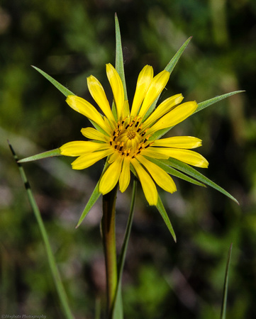 Wyoming Wildflower, Yellow Salsify