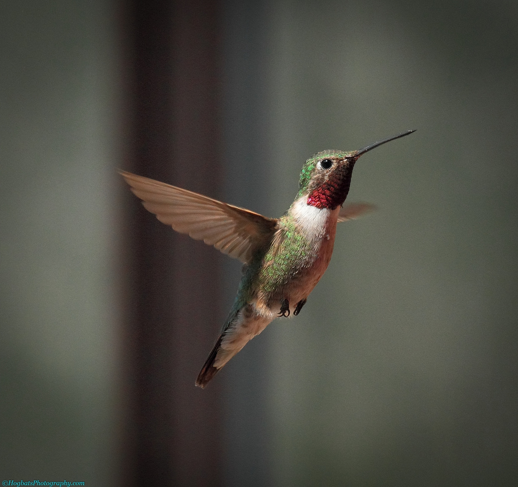 Wyoming, Wind River Canyon, Broad-tailed Hummingbird In-Flight
