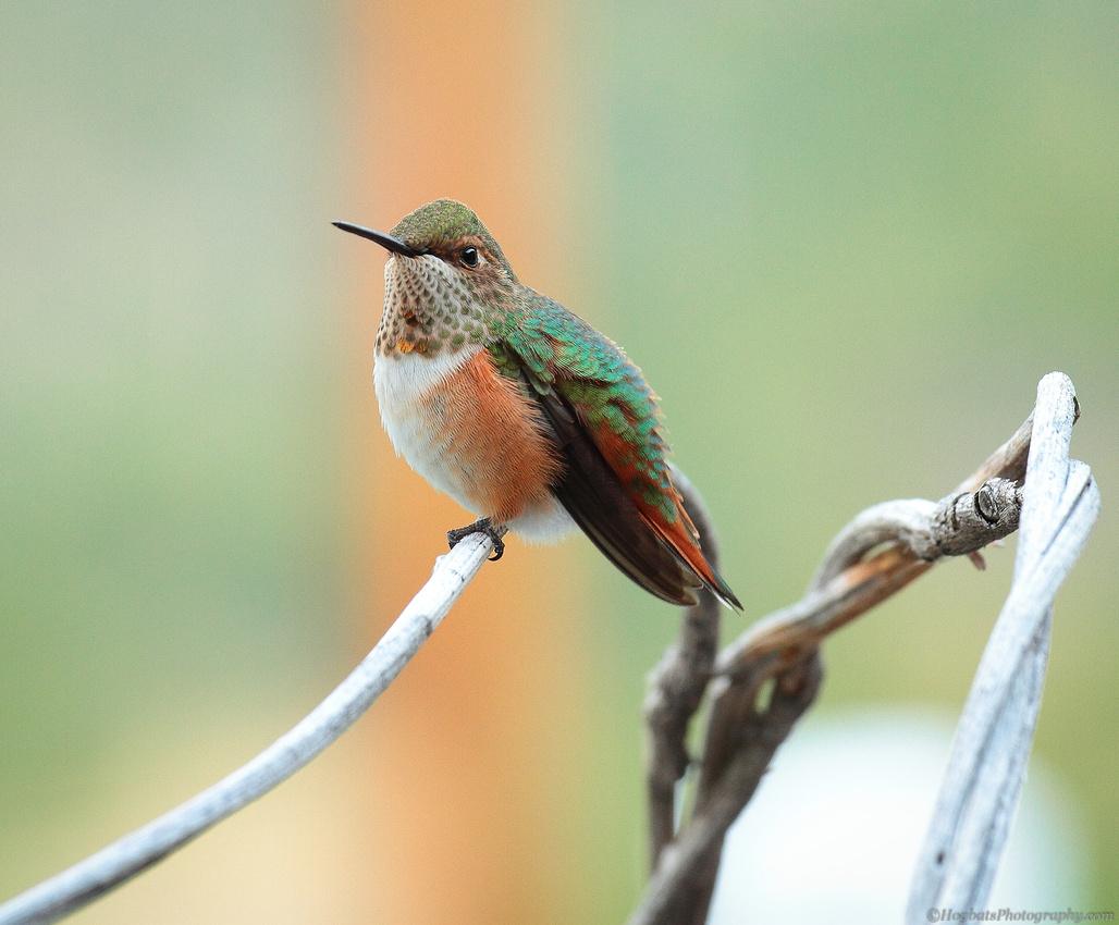 Wyoming Baby Hummingbird