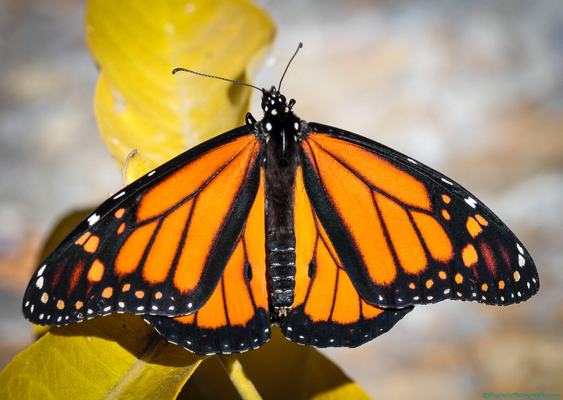 Wind River Canyon Monarch Butterfly