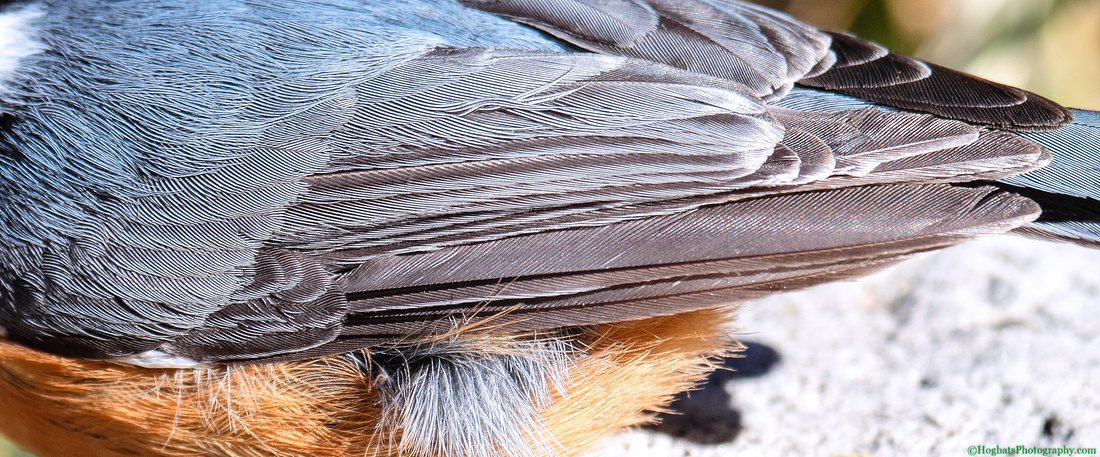 Wyoming, Wind River Canyon, Detail of Red-breasted Nuthatch Wing!