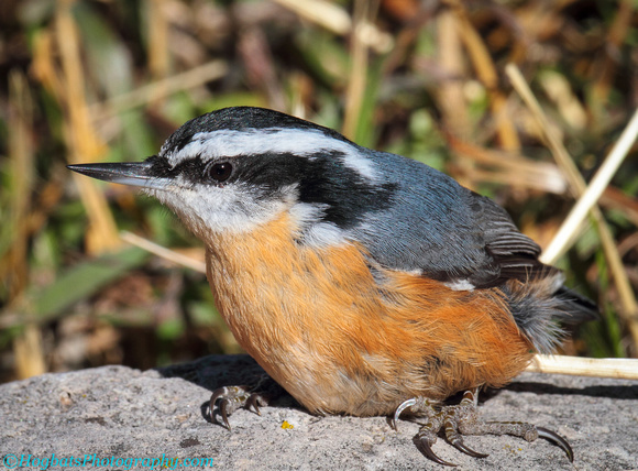 Red-breasted Nuthatch, Wind River Canyon