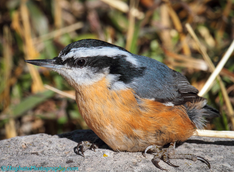 Wyoming, Wind River Canyon, Red-breasted Nuthatch