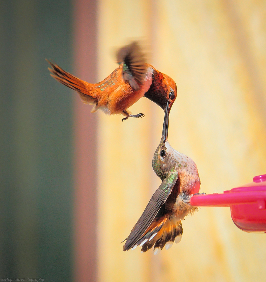 Hummingbirds fighting in Wyoming