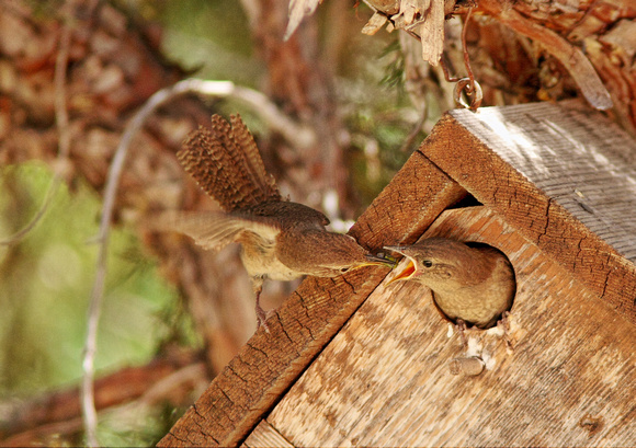 "House Wren-""Feeding Junior""-Wind River Canyon, WY"