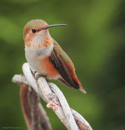 Wyoming Hummingbird, Young Male Rufous - 2nd Place 2015 Cody Art Show - Photographed in Wind River Canyon