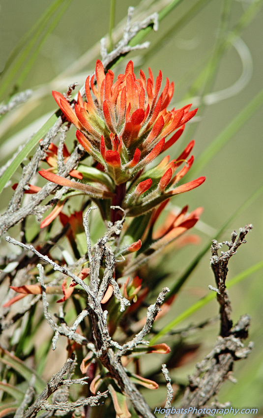 Indian Paintbrush, Wyoming State Flower, Wind River CanyonWyoming State Flower, Indian Paintbrush, Photographed in the Wind River Canyon ...