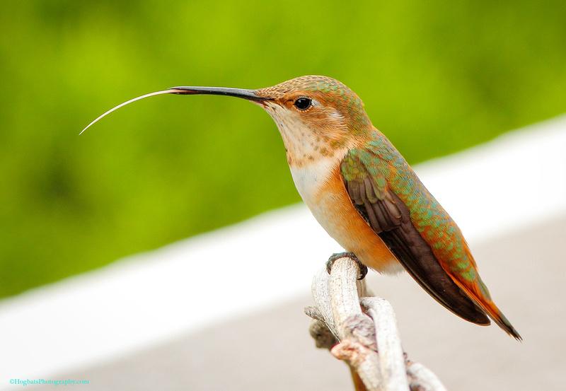 Wyoming Hummingbird, Baby Rufous, Wind River Canyon