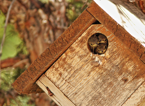 House Wren Babies-Wind River Canyon, Wyoming