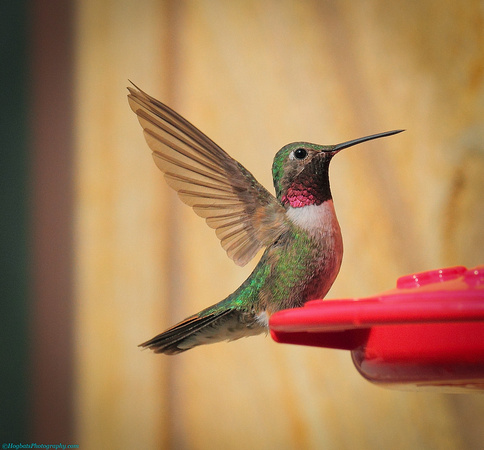 Broad-tailed Hummingbird Waving Hello