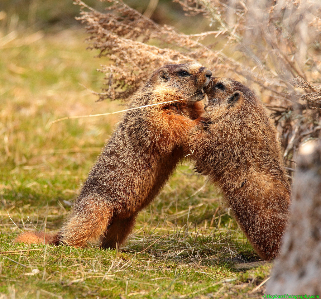 Wyoming, Wind River Canyon, Yellow-bellied Marmots