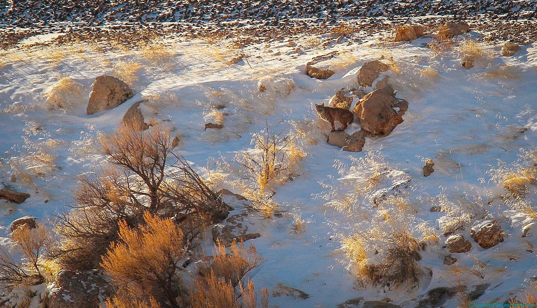Bobcat imaged in The Wind River Canyon.