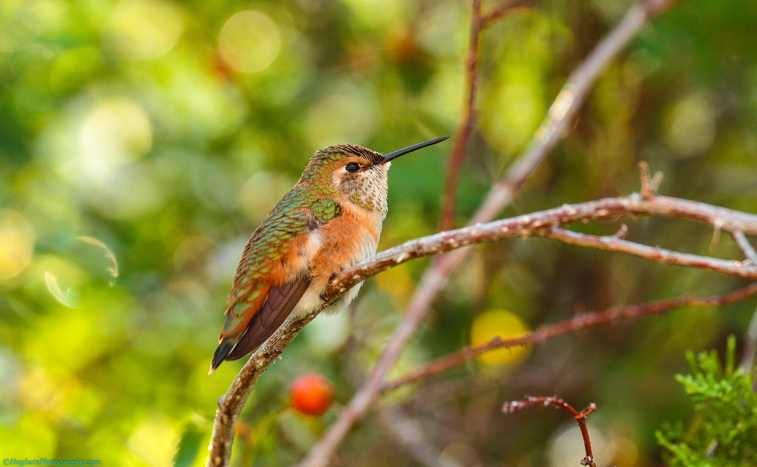 Hummingbird Baby Born in Wind River Canyon-Summer 2017