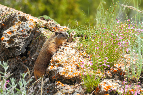 Yellow-bellied Marmot yearling, Wind River Canyon