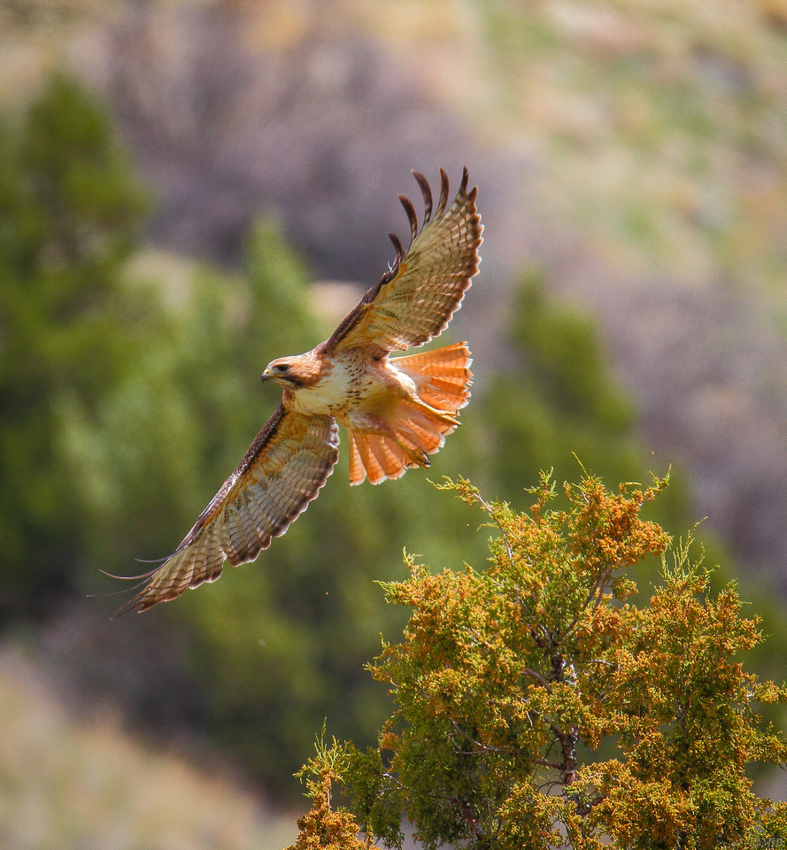 Wyoming Red-tailed Hawk in-flight in the Wind River Canyon.