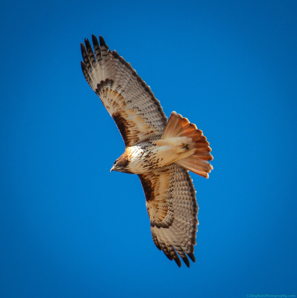 Red-tailed Hawk In-Flight, Wind River Canyon in the state of Wyoming.