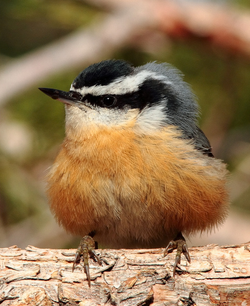 """Red-breasted Nuthatch-""""October Morning""""-Wind River Canyon, Wyoming"""
