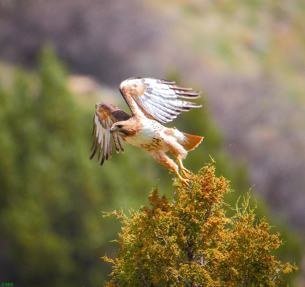 Wyoming, Wind River Canyon, Red-tailed Hawk in-Flight