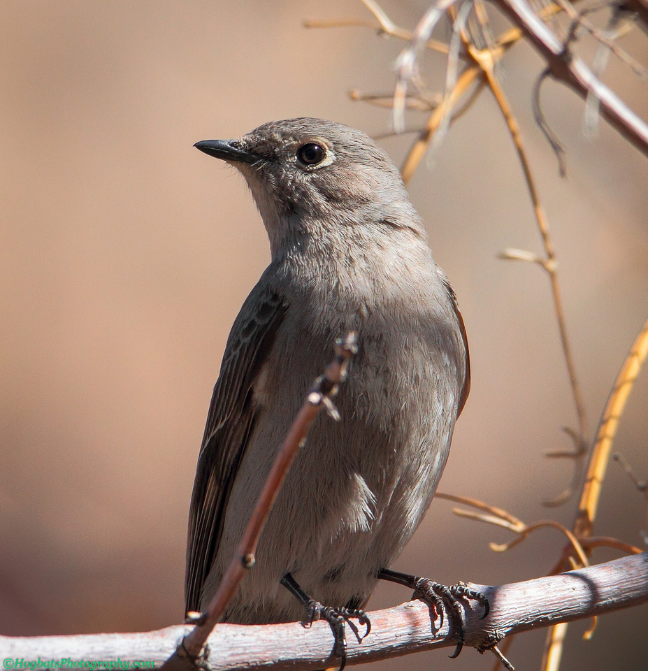 Townsend's Solitaire photographed in the beautiful Wind River Canyon, Wyoming.
