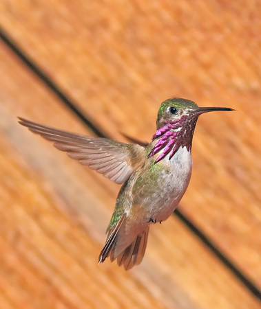 "Callliope Hummingbird, ""In Flight"" - Wind River Canyon, WY"